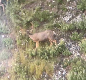 A large mule deer buck feeds on a hillside, as viewed through a spotting scope from a good distance away